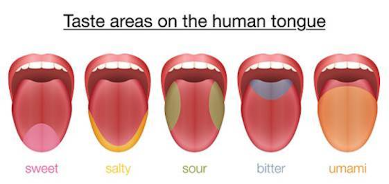 taste areas on the human tongue